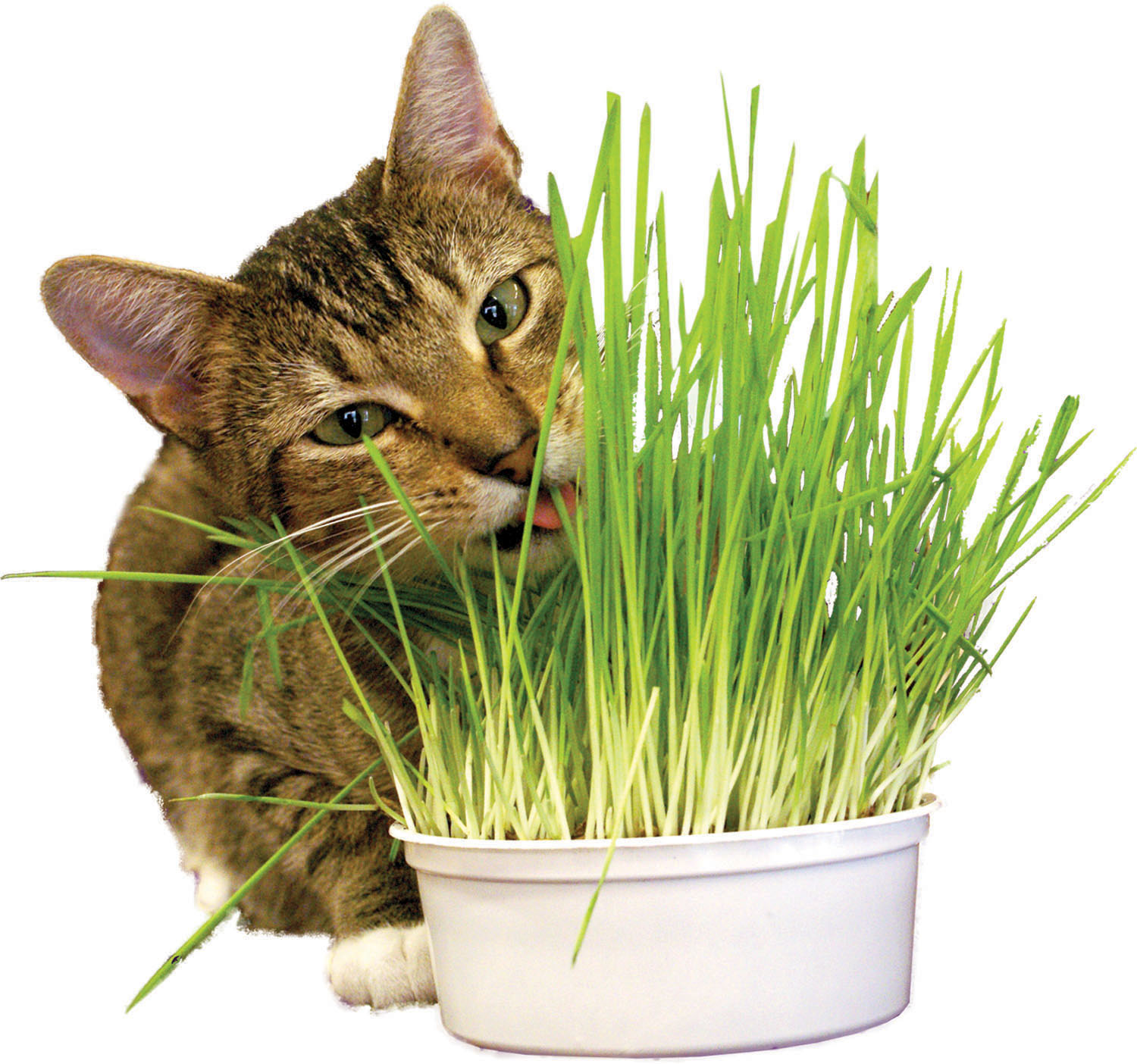 Imperial Cat Organic Oat Grass Kit